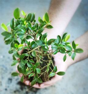 moringa-roots